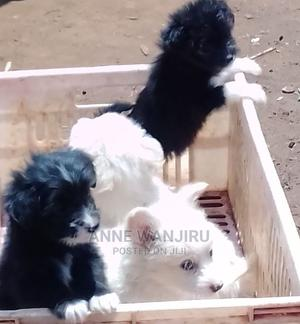 1-3 Month Female Mixed Breed Maltese | Dogs & Puppies for sale in Nairobi, Dagoretti