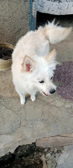 6-12 Month Male Purebred Maltese | Dogs & Puppies for sale in Nakuru, Nakuru Town West