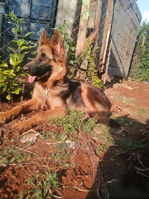 6-12 Month Male Purebred German Shepherd   Dogs & Puppies for sale in Kiambu, Kabete