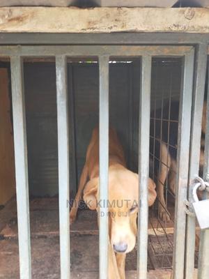 1+ Year Female Mixed Breed Boerboel | Dogs & Puppies for sale in Uasin Gishu, Eldoret CBD