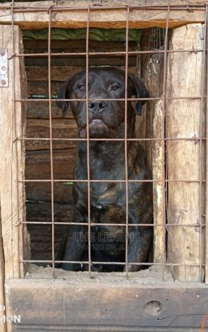 6-12 Month Male Mixed Breed Cane Corso | Dogs & Puppies for sale in Nakuru, Molo