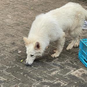 6-12 Month Male Purebred German Shepherd   Dogs & Puppies for sale in Nairobi, Utawala