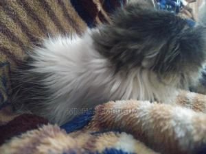 1-3 Month Male Mixed Breed Cat   Cats & Kittens for sale in Nairobi, Thome