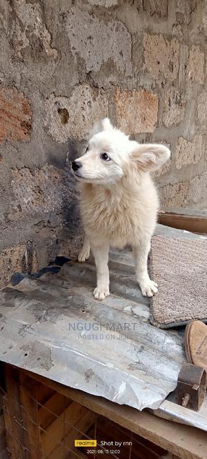 6-12 Month Female Mixed Breed Japanese Spitz | Dogs & Puppies for sale in Kiambu, Ruiru