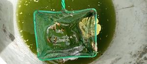 1 Inch Size Sailfin Mollies | Fish for sale in Mombasa, Mvita