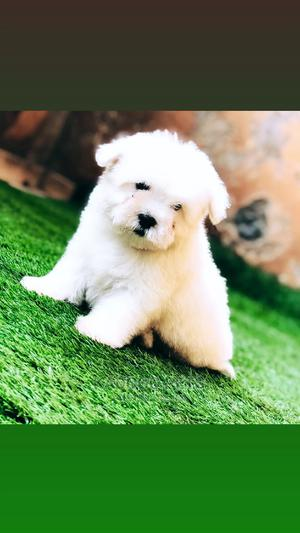 1-3 Month Male Purebred Havanese   Dogs & Puppies for sale in Nairobi, Kasarani