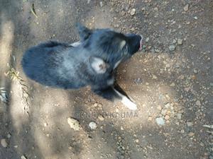 1-3 Month Male Mixed Breed German Shepherd   Dogs & Puppies for sale in Kisumu, Kisumu East