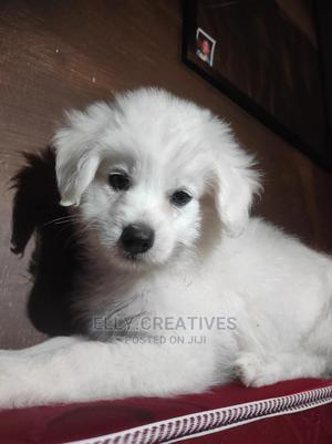 1-3 Month Male Mixed Breed Japanese Spitz   Dogs & Puppies for sale in Kajiado, Ongata Rongai