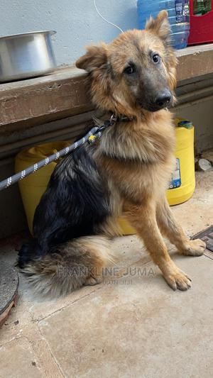 6-12 Month Male Purebred German Shepherd   Dogs & Puppies for sale in Nairobi, Westlands