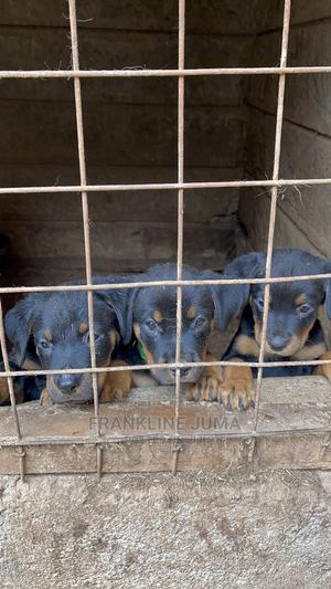 1-3 month Male Purebred Rottweiler   Dogs & Puppies for sale in Nairobi, Makadara