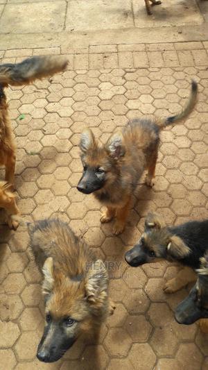 3-6 month Male Purebred German Shepherd   Dogs & Puppies for sale in Kiambu, Kiambaa