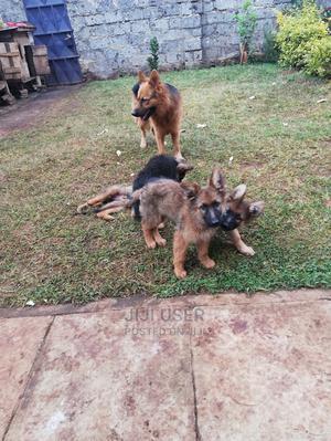 3-6 Month Male Purebred German Shepherd   Dogs & Puppies for sale in Kiambu, Ruaka