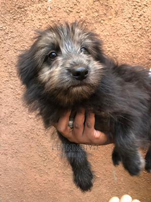 1-3 Month Male Mixed Breed Chihuahua | Dogs & Puppies for sale in Kiambu, Ruiru