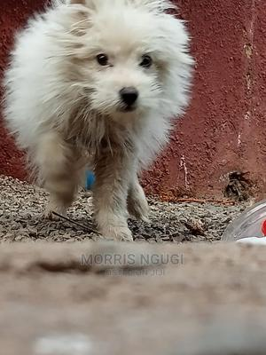 3-6 Month Female Mixed Breed Japanese Spitz | Dogs & Puppies for sale in Kiambu, Ruiru