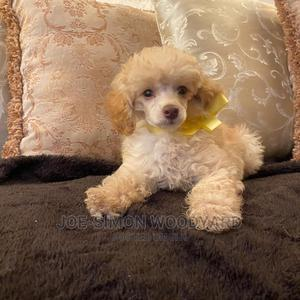 1-3 Month Male Purebred Poodle   Dogs & Puppies for sale in Nairobi, Lavington