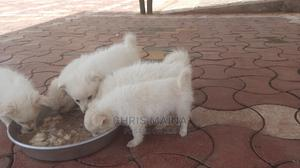 0-1 Month Female Purebred Japanese Spitz | Dogs & Puppies for sale in Nakuru, Lanet