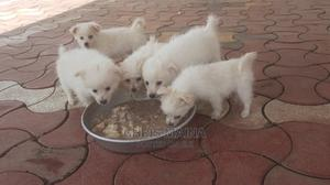 0-1 month Male Purebred Japanese Spitz | Dogs & Puppies for sale in Nakuru, Lanet
