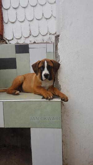 3-6 Month Male Purebred Boerboel | Dogs & Puppies for sale in Kajiado, Ongata Rongai
