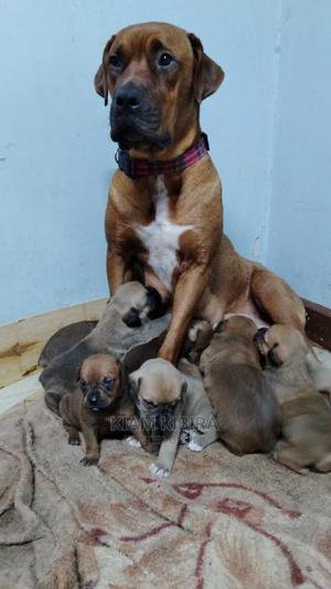 1-3 month Male Purebred Boerboel   Dogs & Puppies for sale in Nairobi, Umoja