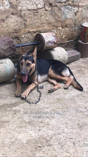 6-12 Month Female Purebred German Shepherd   Dogs & Puppies for sale in Mombasa, Bamburi