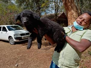 1-3 Month Male Purebred German Shepherd   Dogs & Puppies for sale in Laikipia, Nanyuki
