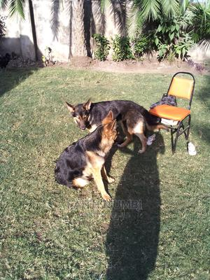 1+ Year Male Purebred German Shepherd   Dogs & Puppies for sale in Kajiado, Ongata Rongai
