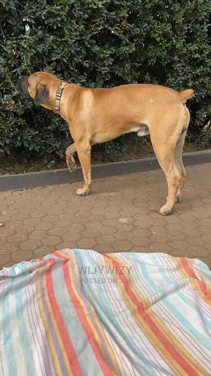 1+ Year Male Purebred Boerboel | Dogs & Puppies for sale in Nairobi, Karen