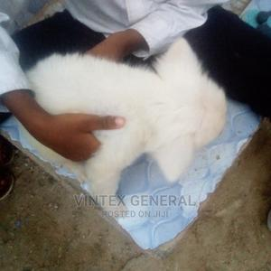 3-6 Month Female Purebred Japanese Spitz | Dogs & Puppies for sale in Mombasa, Nyali