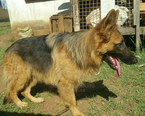 6-12 Month Male Purebred German Shepherd   Dogs & Puppies for sale in Kisumu, Kisumu Central