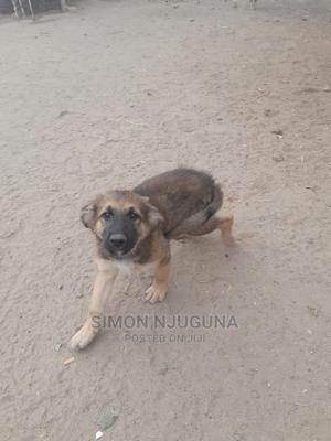 1-3 Month Female Purebred German Shepherd   Dogs & Puppies for sale in Kajiado, Kitengela