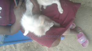 1-3 Month Female Purebred Chihuahua | Dogs & Puppies for sale in Nairobi, Umoja