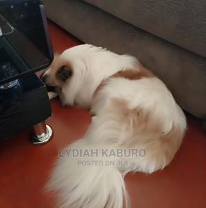 6-12 Month Male Mixed Breed Japanese Spitz   Dogs & Puppies for sale in Nairobi, Kahawa West