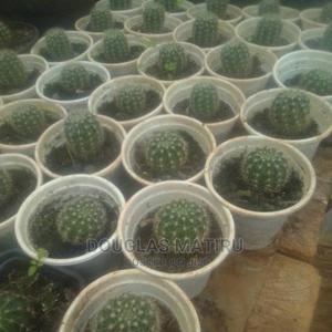 Potted Indoor and Outdoor Plants and Flower Vases   Landscaping & Gardening Services for sale in Kiambu, Banana