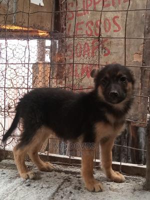 3-6 Month Female Purebred German Shepherd   Dogs & Puppies for sale in Nairobi, Embakasi