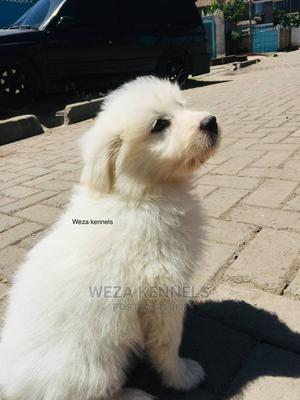 1-3 Month Male Purebred Maltese | Dogs & Puppies for sale in Nairobi, Embakasi