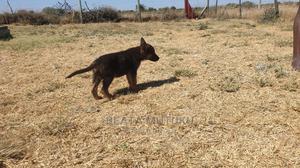 1-3 Month Female Mixed Breed German Shepherd | Dogs & Puppies for sale in Kajiado, Kitengela