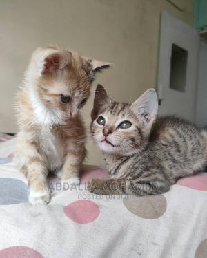 1-3 Month Female Purebred American Wirehair | Cats & Kittens for sale in Kiambu, Kiambu / Kiambu