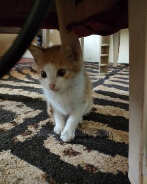 1-3 Month Male Purebred American Wirehair | Cats & Kittens for sale in Kiambu, Kiambu / Kiambu