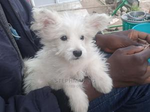 3-6 Month Male Mixed Breed Japanese Spitz | Dogs & Puppies for sale in Nakuru, Nakuru Town East