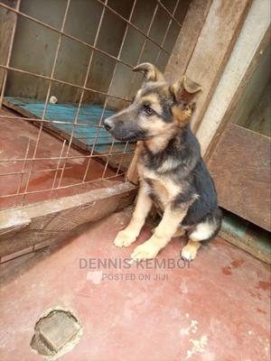 3-6 Month Female Purebred German Shepherd   Dogs & Puppies for sale in Nandi, Kapsabet