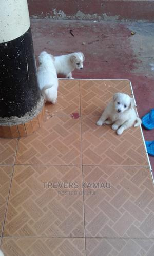 1-3 month Female Purebred Maltese | Dogs & Puppies for sale in Nairobi, Zimmerman
