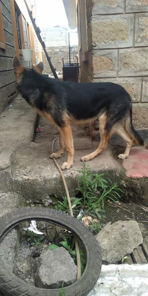 6-12 Month Male Purebred German Shepherd   Dogs & Puppies for sale in Nairobi, Githurai