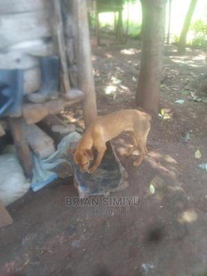 3-6 Month Male Purebred Boerboel | Dogs & Puppies for sale in Trans-Nzoia, Kitale