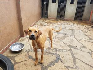 6-12 Month Female Purebred Boerboel   Dogs & Puppies for sale in Nairobi, Thome
