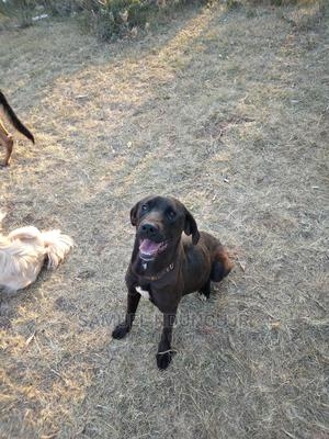 1+ year Female Mixed Breed Boerboel | Dogs & Puppies for sale in Kajiado, Ngong