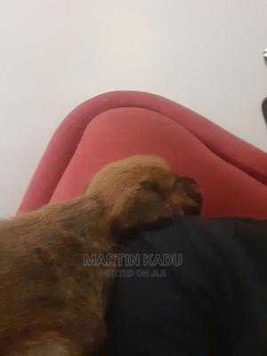 1-3 Month Female Purebred Boerboel | Dogs & Puppies for sale in Nakuru, Rongai
