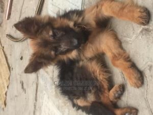 3-6 Month Male Purebred German Shepherd   Dogs & Puppies for sale in Nairobi, Runda