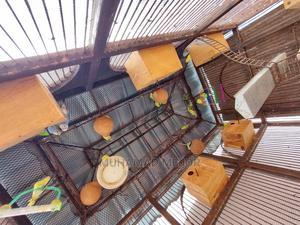 Budgie Breed Pairs | Birds for sale in Mombasa, Mvita