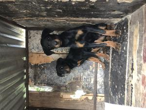 3-6 Month Female Purebred Rottweiler   Dogs & Puppies for sale in Kajiado, Kitengela