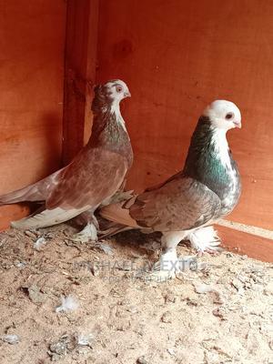 Shortbeak Pair For Sale | Birds for sale in Mombasa, Mvita